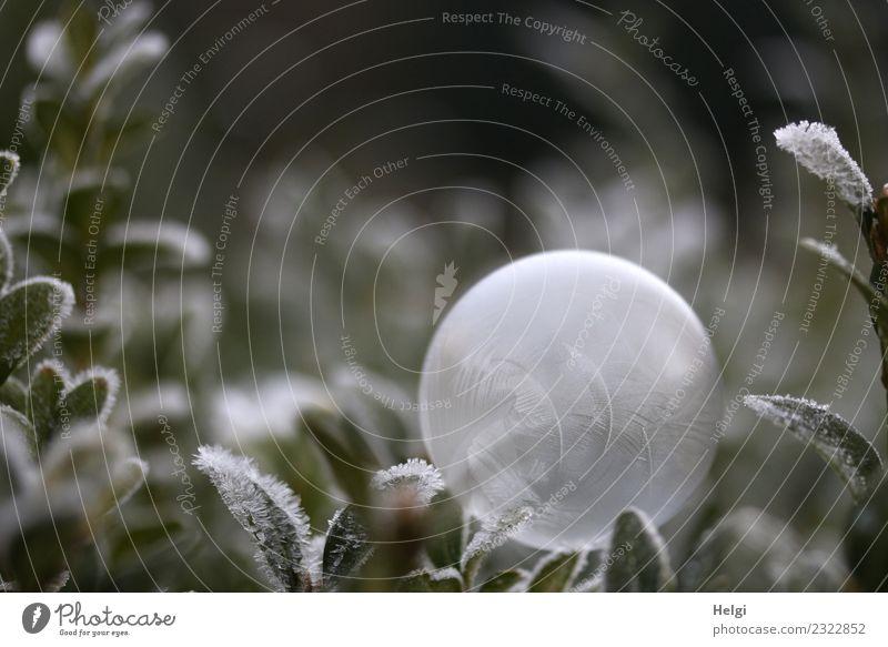 Eisblase II Natur Pflanze grün weiß Blatt ruhig Winter Umwelt kalt Garten außergewöhnlich grau liegen ästhetisch einzigartig