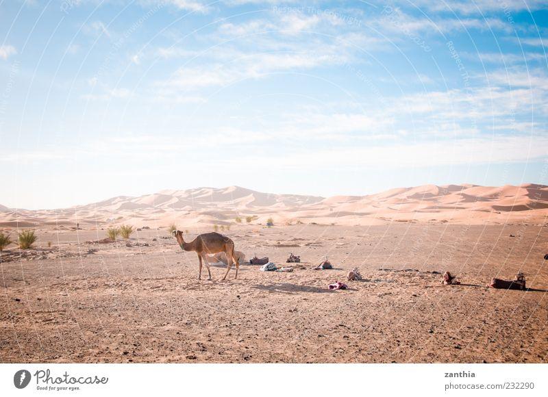 Sahara Umwelt Natur Landschaft Erde Sand Himmel Wolken Horizont Herbst Klima Schönes Wetter Wüste Tier Kamel 1 Abenteuer Einsamkeit Ferien & Urlaub & Reisen