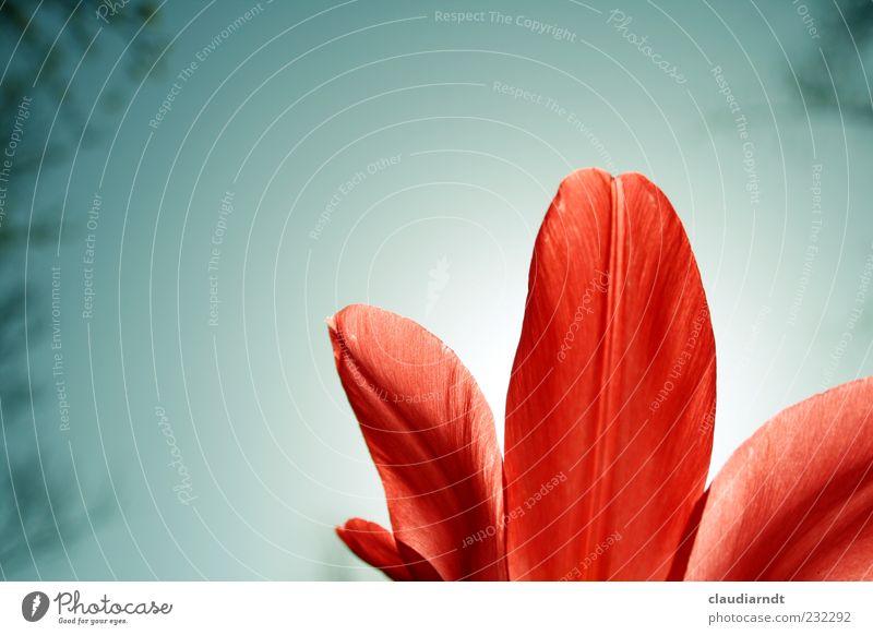 Tulpenrot Natur Pflanze Wolkenloser Himmel Frühling Blume Blüte Frühblüher Blütenblatt Gegenlicht Froschperspektive knallig Farbfoto Außenaufnahme
