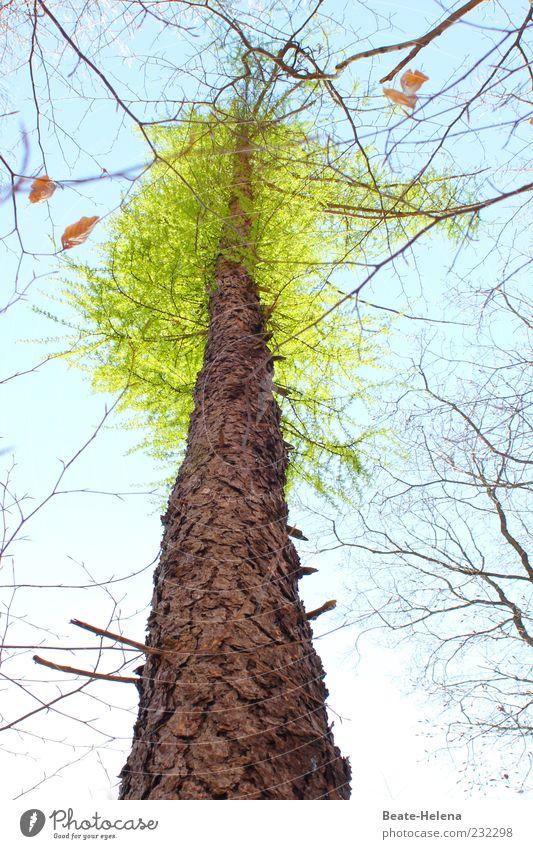 Jahreszeitenwechsel Himmel Natur blau grün Baum Blatt oben Holz Frühling braun natürlich Beginn Wachstum neu Schönes Wetter Baumkrone