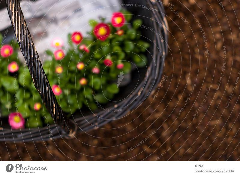 Daisies Natur Pflanze Frühling Blume Gänseblümchen Korb Blühend schön Frühlingsgefühle Farbfoto Außenaufnahme Tag Schwache Tiefenschärfe Menschenleer