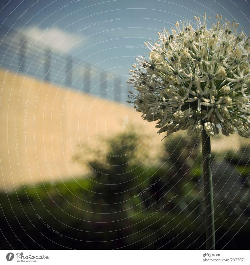frühlingsball Himmel Natur weiß Pflanze Sommer Blume Wolken Umwelt Wand Garten Blüte Mauer Frühling Sträucher Blühend Schönes Wetter