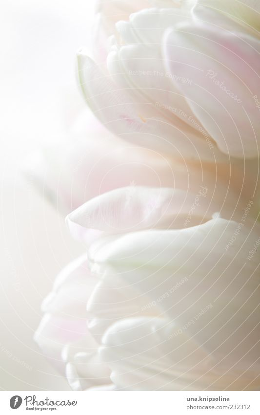 blassrosa Dekoration & Verzierung Natur Pflanze Frühling Blume Tulpe Blüte Blühend Duft hell weich weiß zart Reinheit Textfreiraum Hintergrundbild Blütenblatt