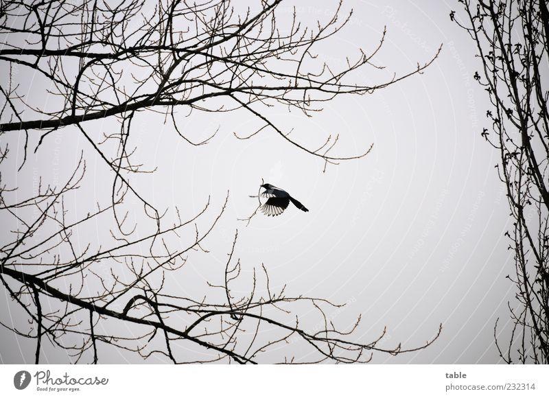 a secret place Nestbau Umwelt Natur Landschaft Pflanze Tier Himmel Wolken Klima schlechtes Wetter Baum Vogel Flügel Elster 1 bauen fliegen natürlich grau