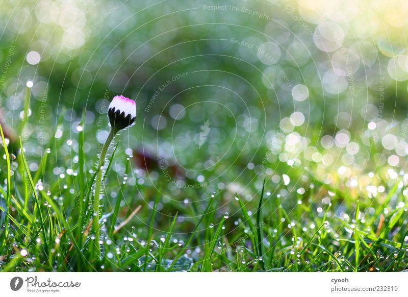 Gänseblümchen im Punktemeer Natur Wasser weiß grün schön Pflanze Blume Wiese kalt Gras Frühling träumen Regen glänzend nass frisch