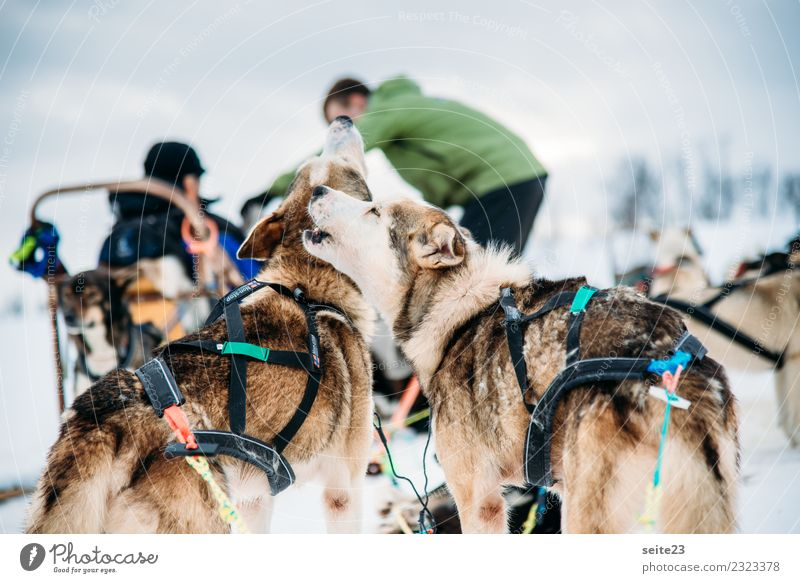 Heulende Huskys vor der Schlittenfahrt in Tromsö, Norwegen Rodeln Schnee Aktion Abenteuer Sport weiß Winter kalt Hund rennen ziehen weinen Landschaft