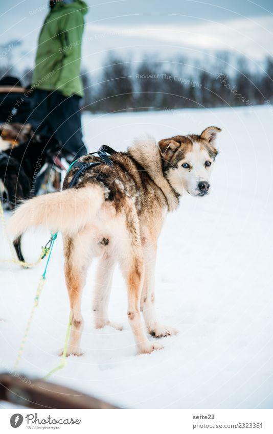 Husky vor der Schlittenfahrt in Tromsö, Norwegen Rodeln Schnee Aktion Abenteuer Sport weiß Winter kalt Hund rennen ziehen weinen Landschaft Geschwindigkeit