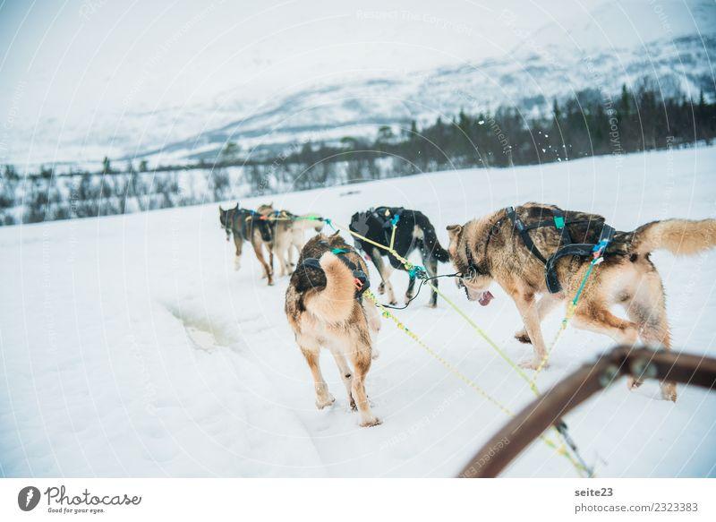 Schlittenfahrt mit Huskys in Tromsö, Norwegen Rodeln Schnee Aktion Abenteuer Sport weiß Winter kalt Hund rennen ziehen weinen Landschaft Geschwindigkeit Rudel