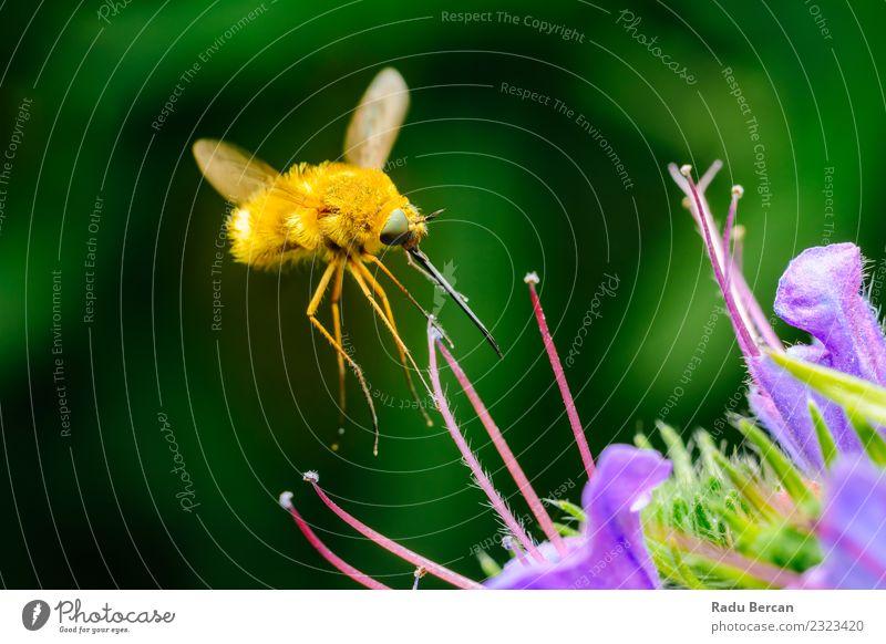Große Bienenfliege (Bombylius Major) sammelt Blütenpollen Sommer Garten Umwelt Natur Pflanze Tier Blume Blatt Wildtier Fliege Tiergesicht 1 Blühend einfach