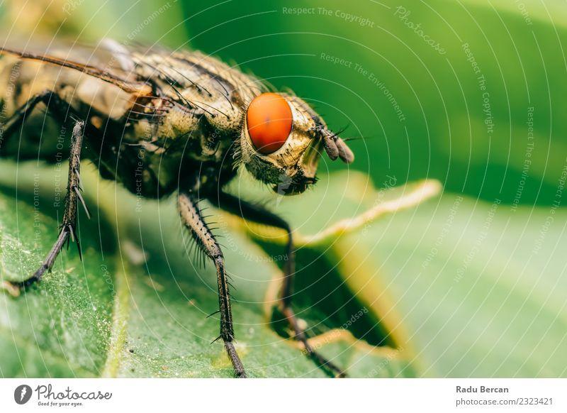 Gemeinsames Stubenfliegenmakro auf grünem Blatthintergrund Umwelt Natur Pflanze Tier Sommer Garten Wildtier Fliege Tiergesicht Flügel 1 beobachten entdecken