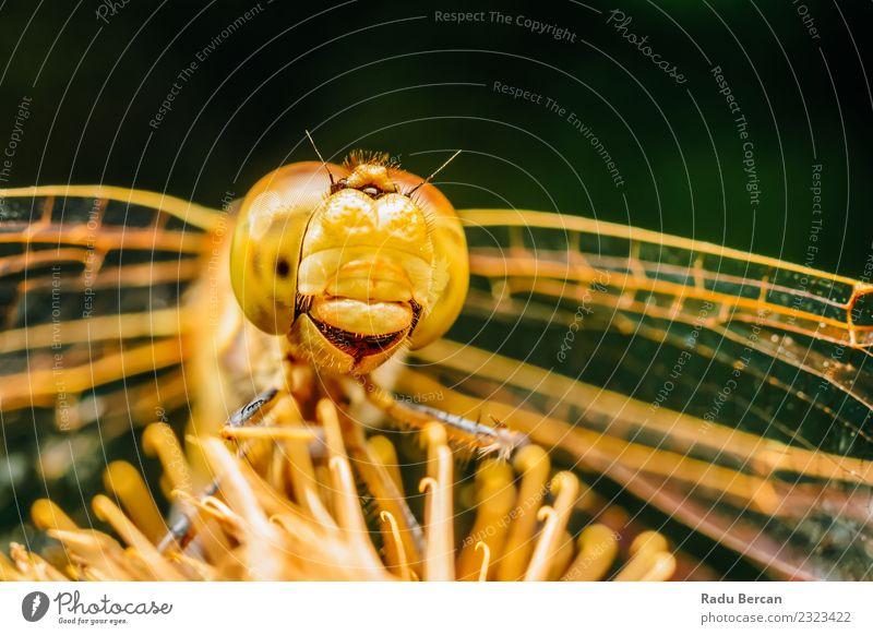 Extremes Makrofoto einer Libelle Umwelt Natur Tier Sommer Wildtier Fliege Tiergesicht Flügel 1 entdecken einzigartig klein niedlich wild gelb orange Abenteuer