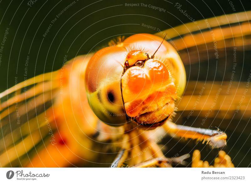 Extremes Makrofoto einer Libelle Umwelt Natur Tier Wildtier Tiergesicht Flügel 1 beobachten entdecken krabbeln Blick außergewöhnlich einfach fantastisch