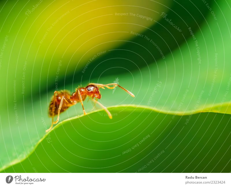 Braune Ameise Nahaufnahme Details Natur Pflanze Tier Blatt Wildtier Tiergesicht klein wild braun grün rot Insekt Auge Hintergrund Tierwelt Fauna schließen