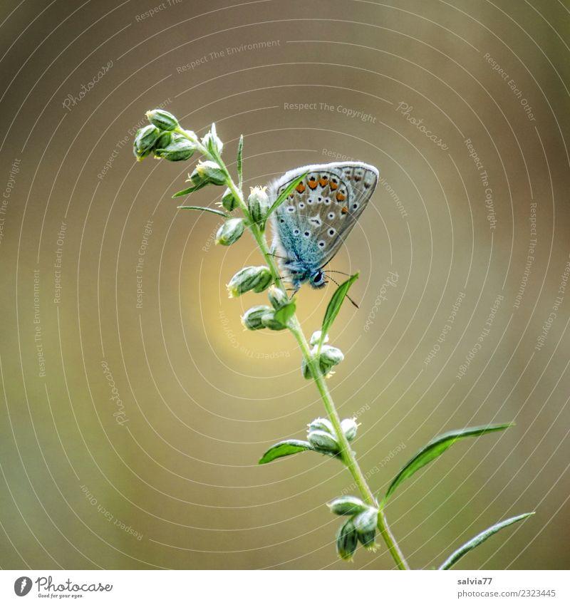 mach mal Pause Umwelt Natur Sommer Pflanze Blatt Blütenknospen Tier Schmetterling Insekt Bläulinge 1 klein niedlich braun gelb grün Leichtigkeit ruhig Farbfoto