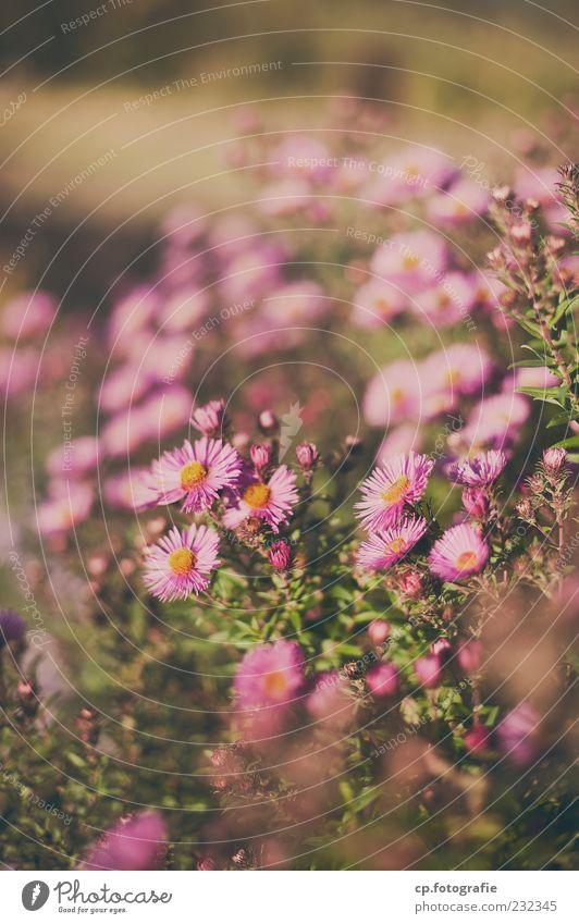 ausserhalb der Reihe Pflanze Sommer Blume klein rosa natürlich