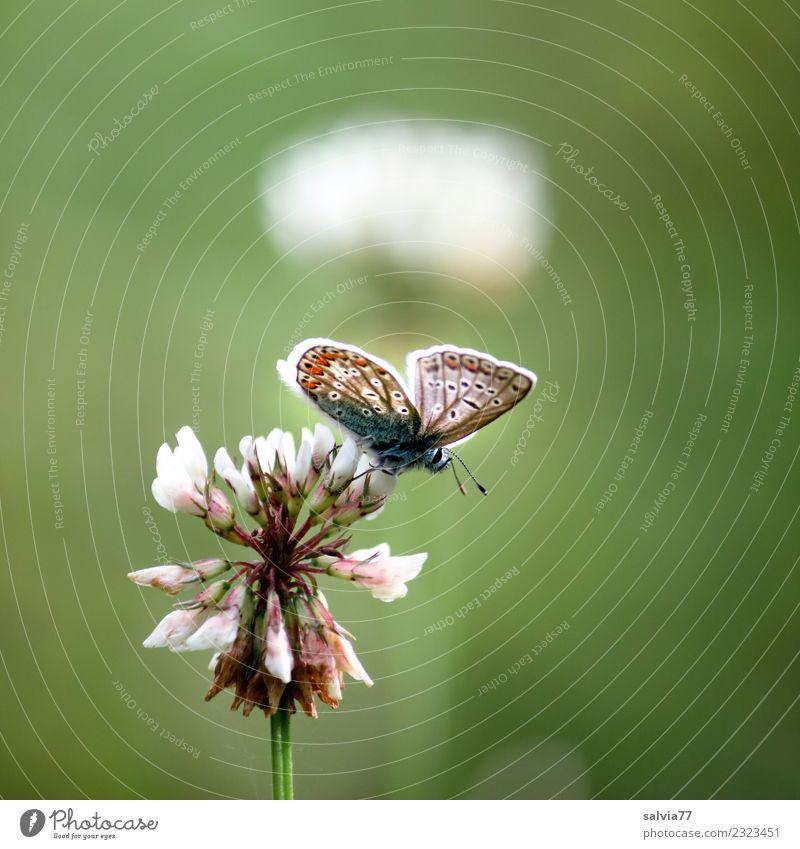 Sommerleichtigkeit Natur Pflanze Blume Blüte Weiß-Klee Wiese Wildtier Schmetterling Insekt Bläulinge 1 Tier oben positiv grün Duft Glück Idylle Leichtigkeit