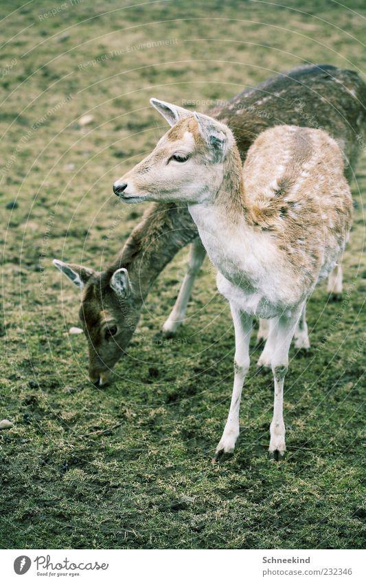 Zweisam Umwelt Natur Gras Tier Wildtier Tiergesicht Zoo Streichelzoo 2 Tierpaar füttern Fressen Reh Rehkitz Kontrast Huf Fell Wildpark Farbfoto Außenaufnahme