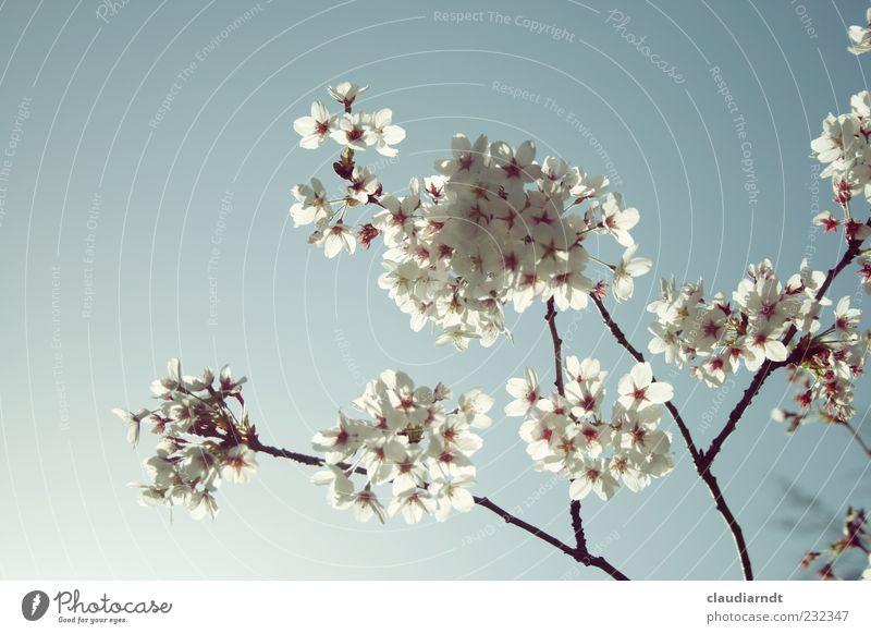 blütenweiß Natur Pflanze Blüte Frühling zart Blühend Schönes Wetter Wolkenloser Himmel filigran Pastellton Zweige u. Äste Kirschblüten Kirschbaum durchleuchtet
