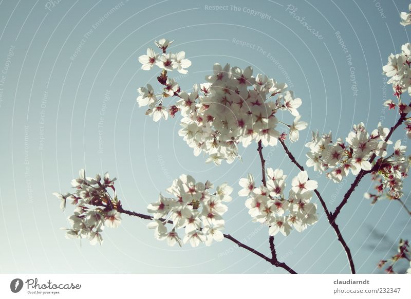 blütenweiß Natur Pflanze Wolkenloser Himmel Frühling Schönes Wetter Blüte Kirschblüten Blühend Kirschbaum zart durchleuchtet Pastellton filigran Zweige u. Äste