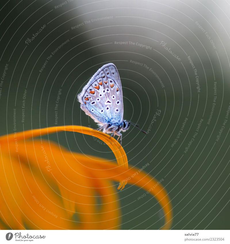 Siesta Natur Sommer Blume Blüte Garten Wildtier Schmetterling Insekt Bläulinge 1 Tier Blühend ästhetisch Duft klein natürlich niedlich gelb grün ruhig