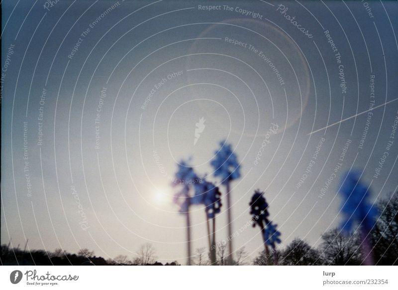 [Lomo] So blau, blau blüht ... Himmel Natur Pflanze Sonne Blume Umwelt Blüte Schönes Wetter Wolkenloser Himmel Unschärfe
