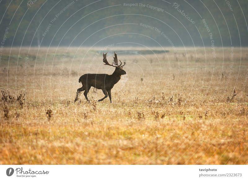 Damhirsch im schönen Morgenlicht Spielen Jagd Mann Erwachsene Umwelt Natur Landschaft Tier Herbst Nebel Wiese groß natürlich wild braun Farbe Brachland Hirsche