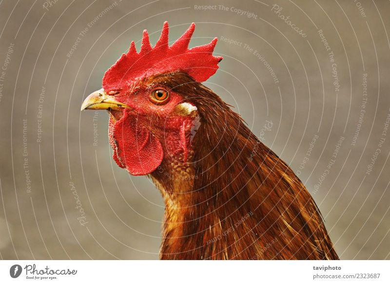 Porträt eines braunen, bunten Hahnes Fleisch elegant schön Mann Erwachsene Natur Tier Vogel lustig natürlich grün rot Farbe Kopf heimisch Viehbestand Kamm