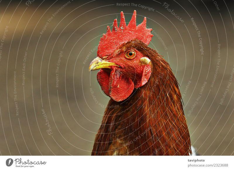 Porträt einer bunten Henne schön Gesicht Frau Erwachsene Natur Landschaft Tier Vogel natürlich braun rot Farbe Hähnchen Pute Schnabel Feder Federvieh Kopf
