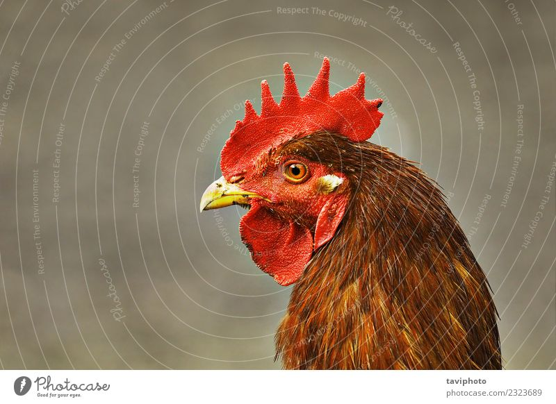 Porträt einer einheimischen beigefarbenen Henne schön Gesicht Frau Erwachsene Natur Landschaft Tier Vogel beobachten lustig natürlich braun rot Farbe Pute