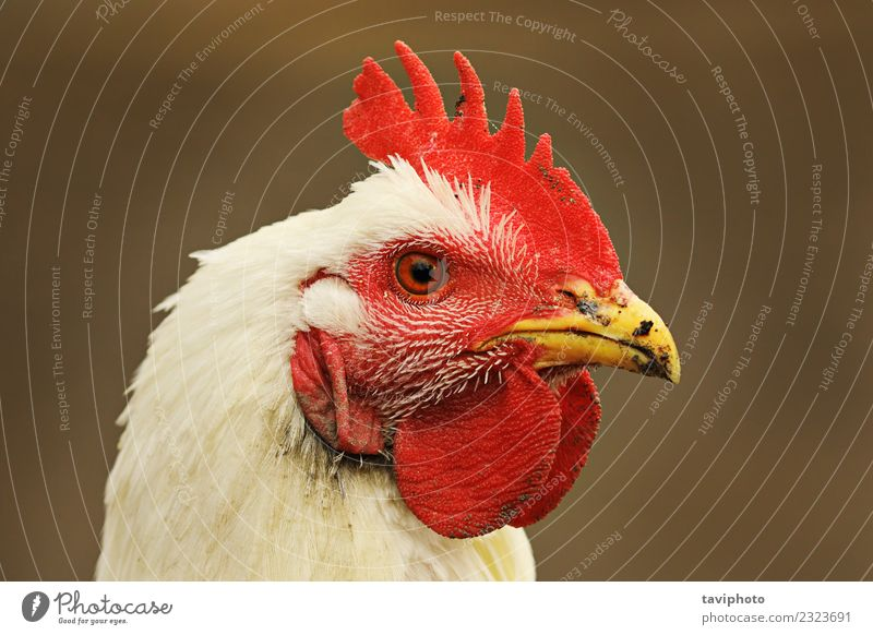 Porträt einer weißen Henne auf unscharfem Hintergrund Fleisch Ernährung schön Gesicht Frau Erwachsene Natur Tier Vogel stehen dreckig natürlich wild rot Farbe