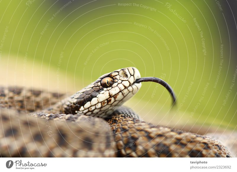 Natur schön Tier Umwelt Wiese natürlich braun wild Angst gefährlich Fotografie Lebewesen Europäer Gift Schlange Reptil