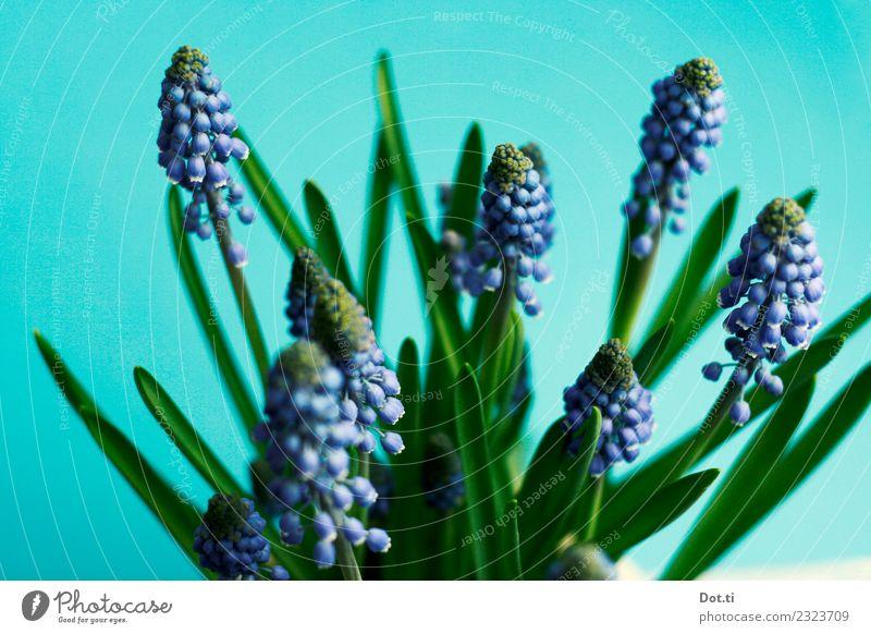 Muscari Pflanze Blume Blatt Blüte schön blau grün türkis Natur Traubenhyazinthe Frühling Frühblüher zart Dekoration & Verzierung Farbfoto Innenaufnahme