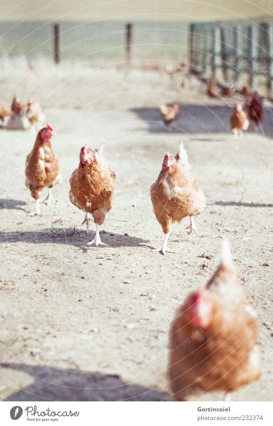 Hennenrennen Tier Vogel Laufsport Tiergruppe Neugier Bauernhof rennen Haushuhn Biologische Landwirtschaft Nutztier Landleben Schatten Hühnervögel Freilandhaltung kommend