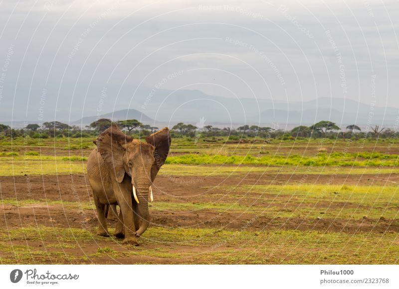 Elefant mit Ohren nach vorne in der Savanne Ferien & Urlaub & Reisen Safari Baby Umwelt Natur Landschaft Tier Himmel Gras Park groß natürlich stark wild grau