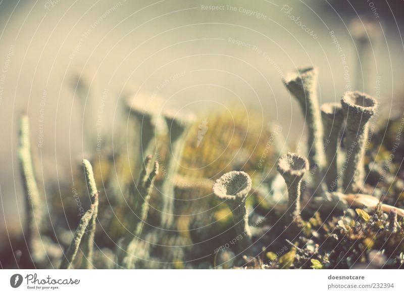 watching the void grow. Natur Pflanze außergewöhnlich Moos beige Trompete Tentakel Flechten