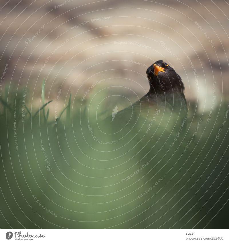 Rucke di guck Natur Tier schwarz Umwelt Wiese Gras lustig klein Vogel natürlich Wildtier wild sitzen authentisch Schönes Wetter Feder