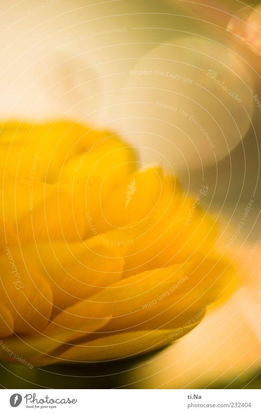 Frühlingssonnengelb Pflanze Blume Ranunkel Blühend Duft hell schön Farbfoto Innenaufnahme Nahaufnahme Menschenleer Licht Reflexion & Spiegelung