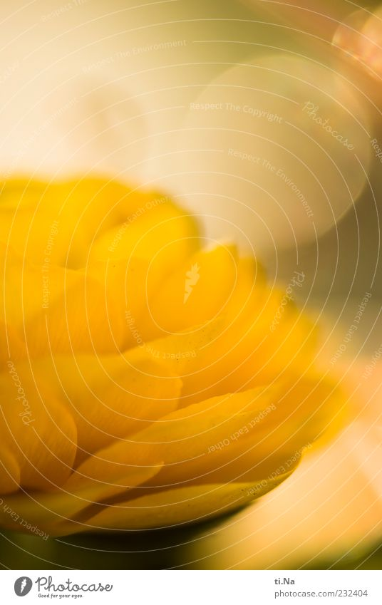 Frühlingssonnengelb schön Pflanze Blume hell Blühend Duft Blütenblatt Ranunkel