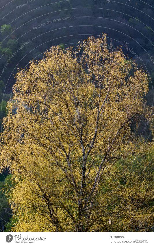 Frühlingsbirke Sommer Natur Pflanze Klima Baum Blatt Wald Wachstum natürlich gelb grün Birke Frühlingsfarbe Zweige u. Äste Baumkrone hell grün-gelb Farbfoto