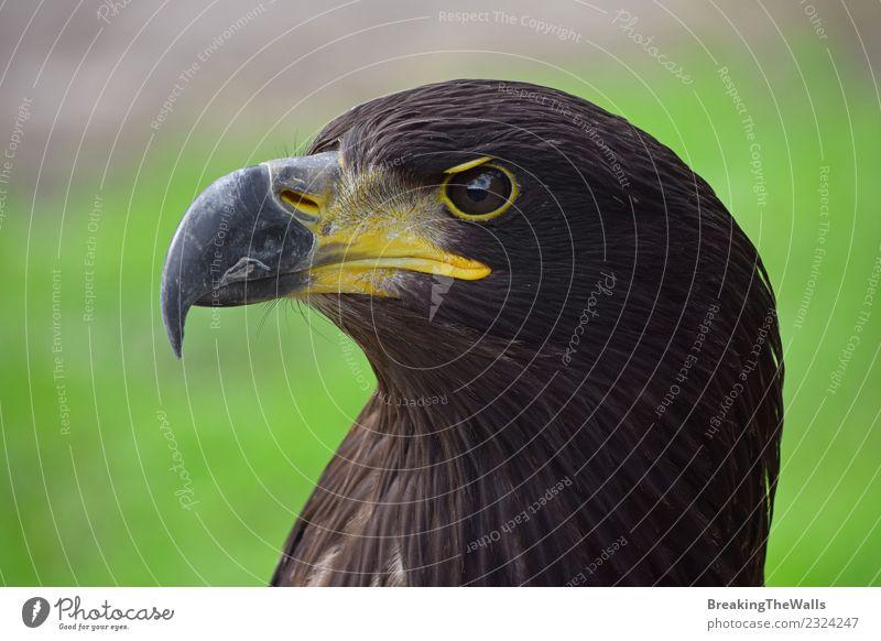 Nahaufnahme des Adlers im Seitenportrait Natur Tier Vogel Zoo Kopf Auge Schnabel Raubtier 1 braun grün Aggression schön traumhaft gefährlich Wachsamkeit wach
