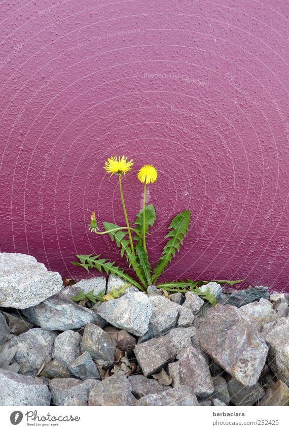Randgruppe schön Pflanze Farbe gelb Wand grau Stein Mauer Frühling natürlich Beton Wachstum violett Blühend Löwenzahn Blume