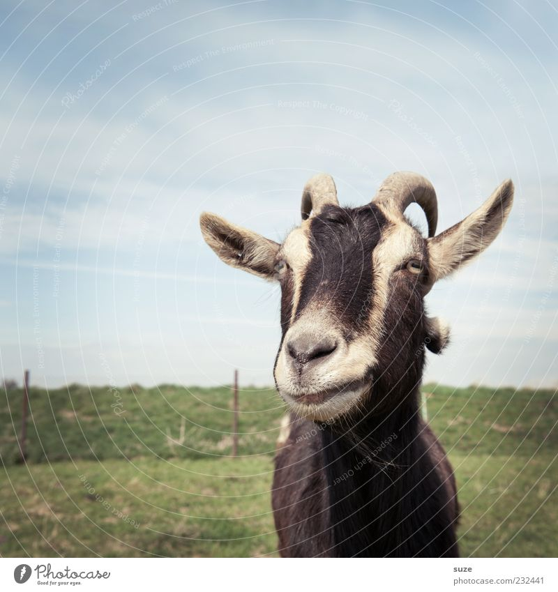 Meckerliese Himmel Tier Wiese Gras authentisch Tiergesicht Weide Horn Schnauze Nutztier Ziegen Kopf Perspektive meckern Ziegenfell Ziegenbock