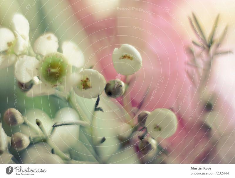 Imitationen weiß schön Pflanze Blume Farbe Gefühle Blüte hell Beginn ästhetisch Wachstum leuchten einzigartig weich zart Duft