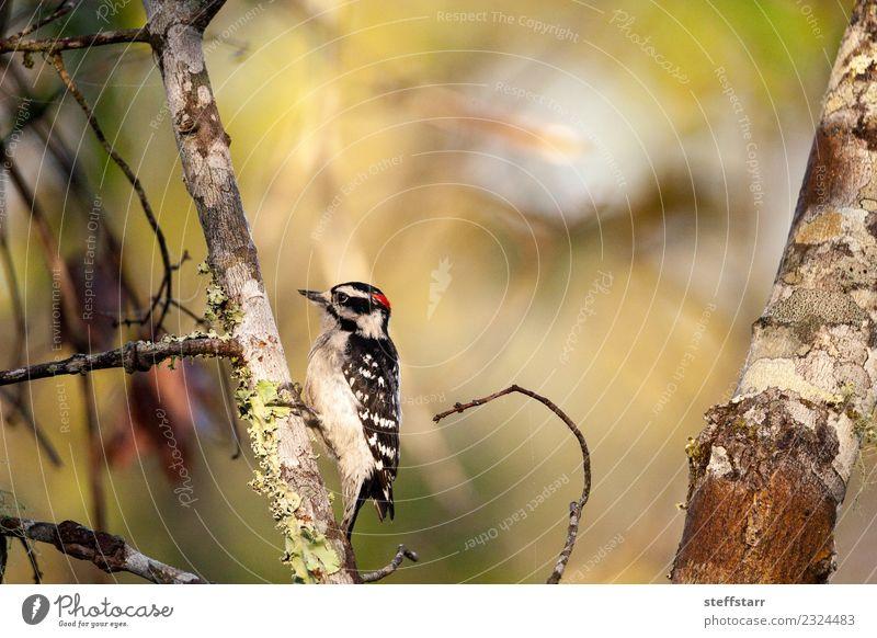 Daunenspecht Picoides pubescens Pflanze Baum Wald rothaarig Tier Wildtier Vogel 1 Holz braun schwarz weiß Specht Corkscrew swamp Korkenzieher Sumpfschutzgebiet