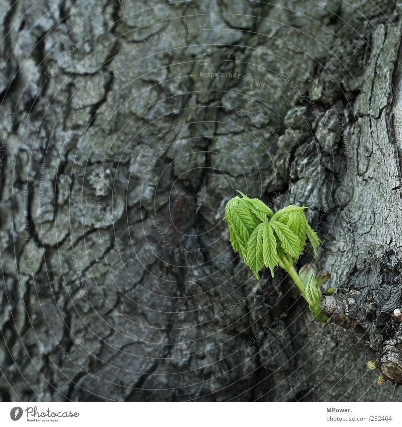 ... Umwelt Natur Pflanze Baum Blatt Holz Farbe Wachstum Baumrinde Baumschössling grün grau sprießen gedeihen alt 3 keimen Farbfoto Außenaufnahme Nahaufnahme