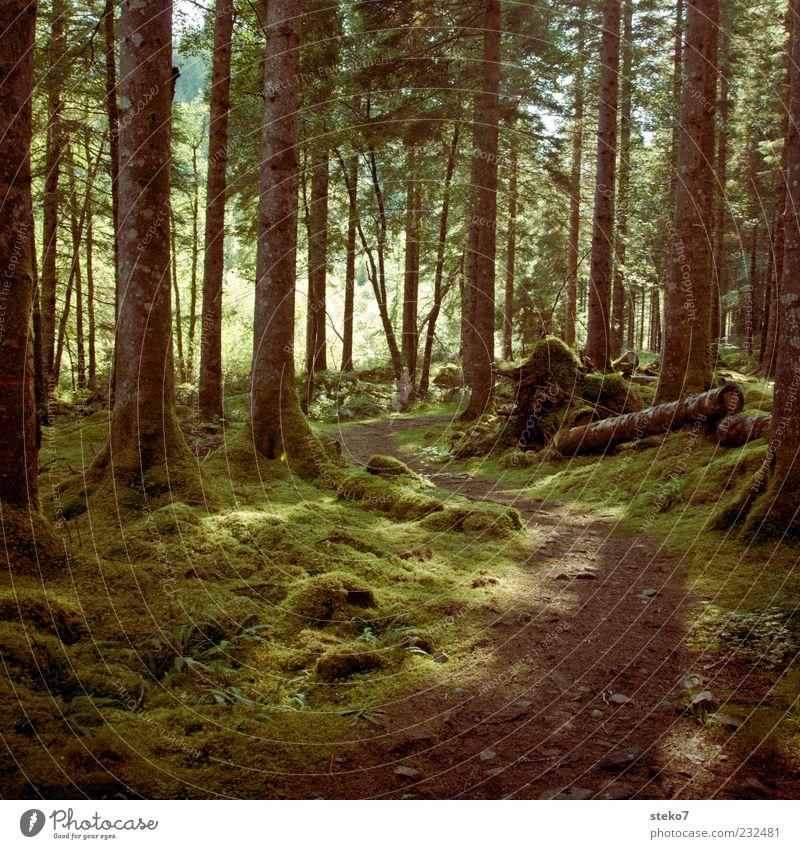 Rotkäppchens Arbeitsweg Wald Wege & Pfade schön grün Idylle Schottland Moos Nadelwald Farbfoto Außenaufnahme Menschenleer Sonnenlicht Baumstamm fantastisch