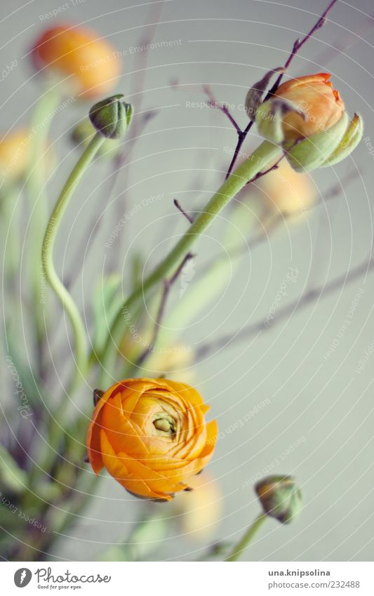 buttercup Frühling Pflanze Blume Blüte Ranunkel Dekoration & Verzierung Blumenstrauß Blühend frisch grün orange Gesteck schön Blütenblatt rund Farbfoto