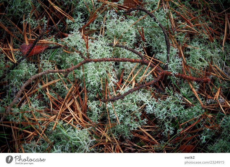 Unterlage Umwelt Natur Landschaft Pflanze Herbst Sträucher Zweig Flechten Tannennadel Wald Duft klein nah natürlich trocken unten viele weich grün Waldboden