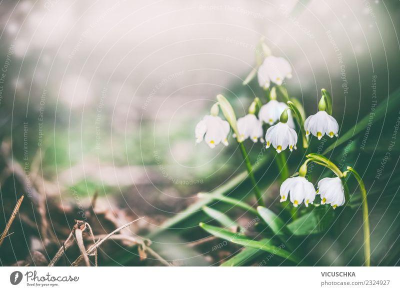 Hübsche Maiglöckchen im Garten Design Natur Pflanze Frühling Blume Blatt Blüte Park grau grün Hintergrundbild Frühlingsgefühle Frühlingsblume Farbfoto