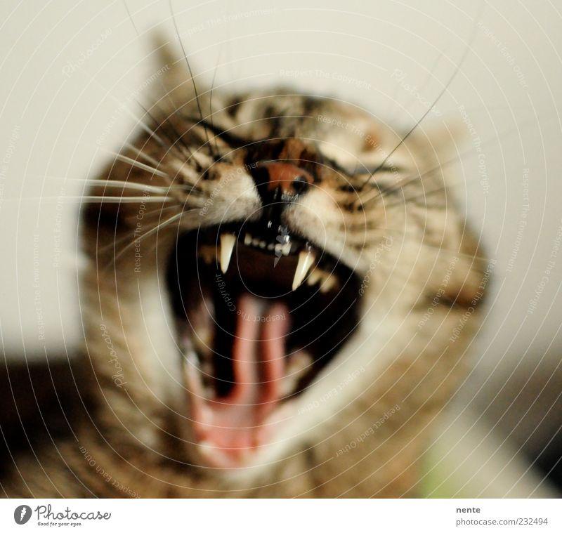 Tiger Lilly Haustier Katze Tiergesicht 1 schreien Aggression niedlich Spitze Wut braun Trägheit gereizt gähnen aufwachen Farbfoto Innenaufnahme Morgen